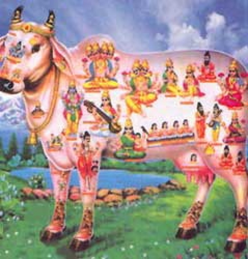 Cow Quiz