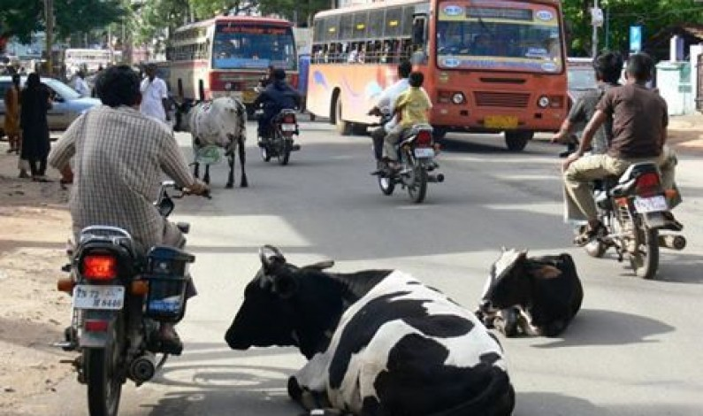 Stray Animals on Roads: Religion vs Practical Solutions