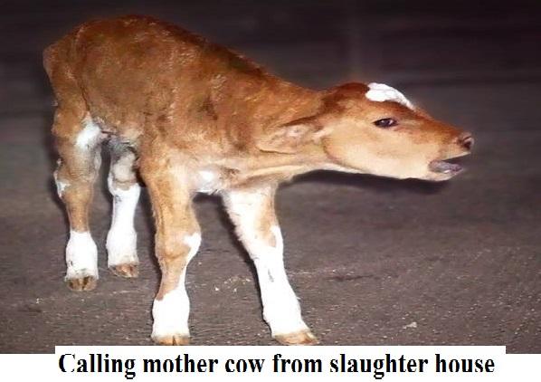 calfslaughter